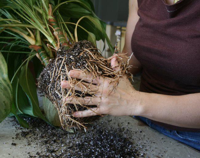 Лишние корни драцены на земляном коме из старого горшка