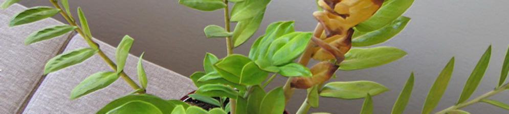 Лист замиокулькаса желтеет от корня