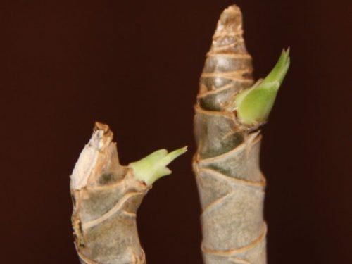 Распускание листиков из спящих почек на черенке драцены маргината