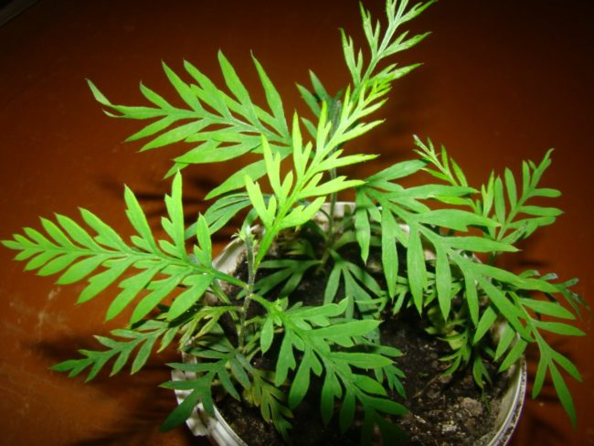 Зеленые листья гревиллеи на взрослом растении в комнатных условиях