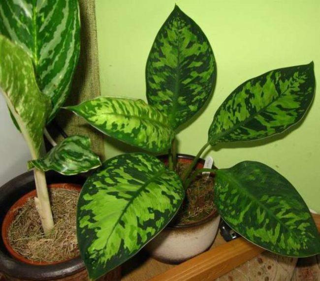 Светло-зеленые пятна на листовых пластинках хомаломены уоллиса