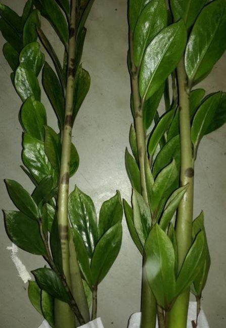 Темные пятна небольшого размера на стеблях замиокулькаса