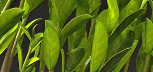 Много стеблей замиокулькаса в одном горшке