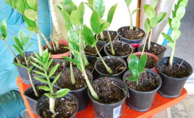 Молодые замиокулькасы в пластиковых контейнерах после удачного черенкования растения