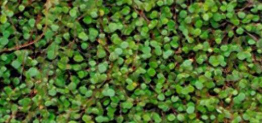 Пышный цветок мюленбекии вблизи