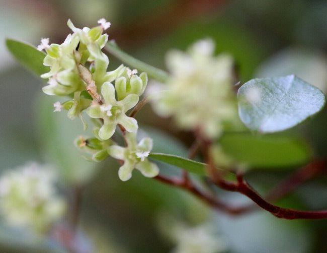 Цветение мюленбекии в домашних условиях в конце лета