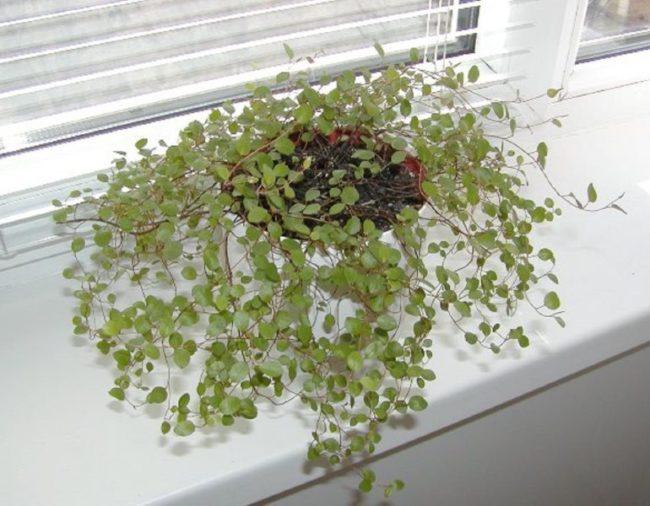 Выращивание мюленбекии на подоконнике в офисных условиях