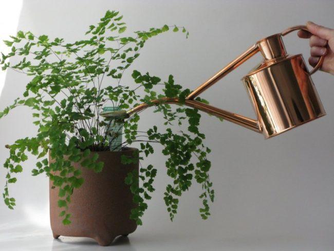 Правильный полив мюленбекии из латунной лейки в домашних условиях