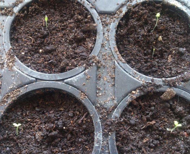 Молодые всходы мюленбекии в пластиковых контейнерах после прорастания семян