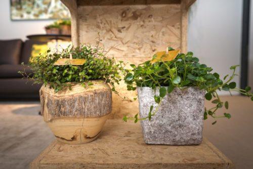 Выращивание домашней мюленбекии в декоративных горшках оригинального дизайна