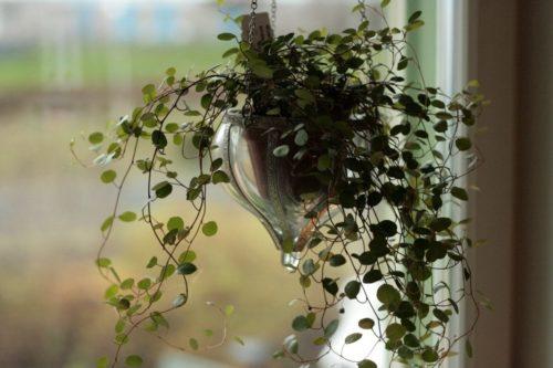 Стеклянное кашпо с плетистой мюленбекией в оконном проеме частного дома