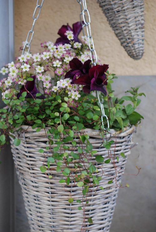 Плетенное кашпо с мюленбекией и другими комнатными цветками