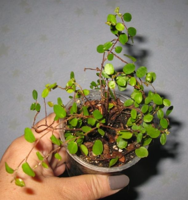 Пластиковый стаканчик с растущей мюленбекией после удачного укоренения черенков