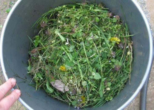 Ведро с травой для приготовления питательной подкормки под драцену