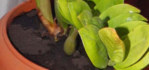 Перестал расти цветок Замиокулькас желтеют листья