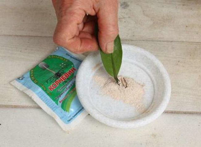 Обработка среза листа замиокулькаса в стимуляторе корнеобразования