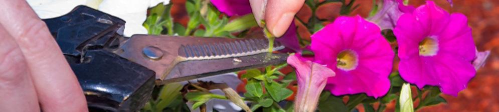 Обрезка петунии при помощи ножниц