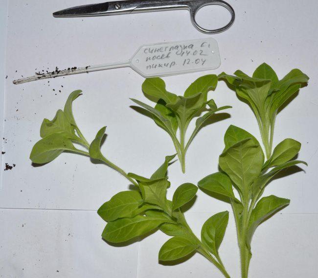 Зеленые черенки петунии после обрезки в весенний период