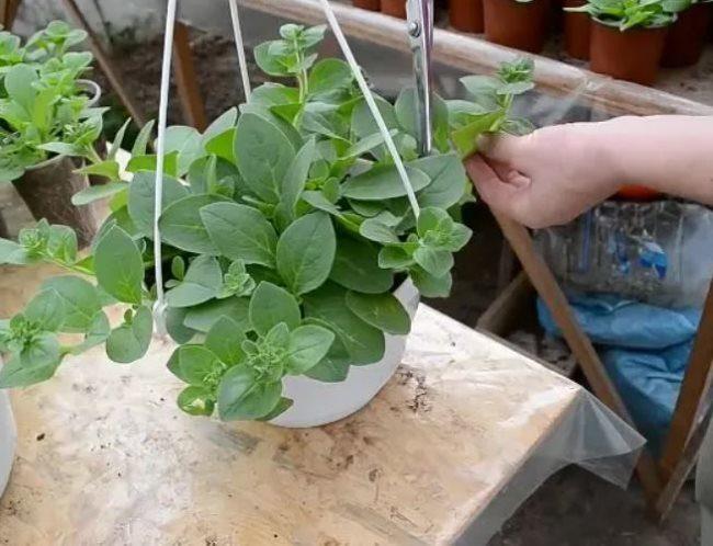 Прищипывание садоводом зеленого побега на кусту ампельной петунии