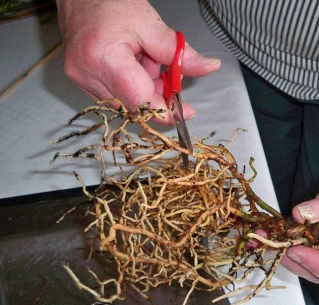 Обрезка длинных корней драцены бытовыми ножницами в домашних условиях