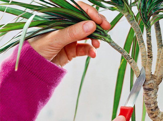 Обрезка верхушки ствола драцены для черенкование в водном растворе