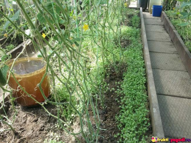 Обрезка почти всех листьев у огурцов в теплице после первого плодоношения