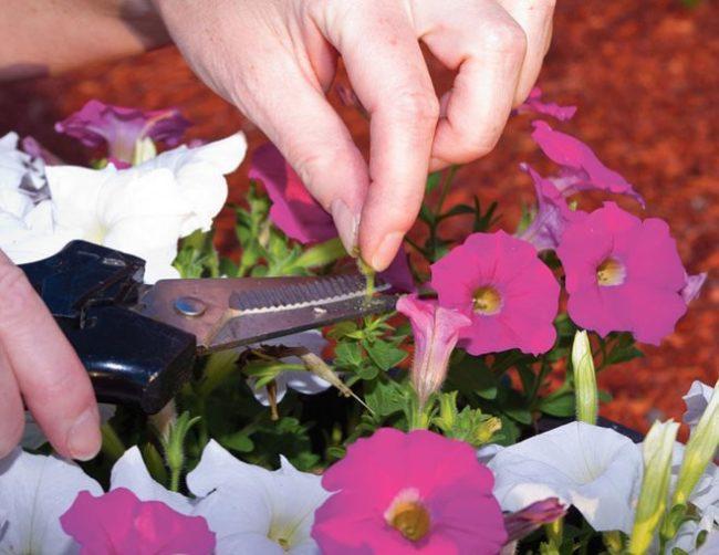 Обрезка сухого цветка петунии садовым секатором в середине июля