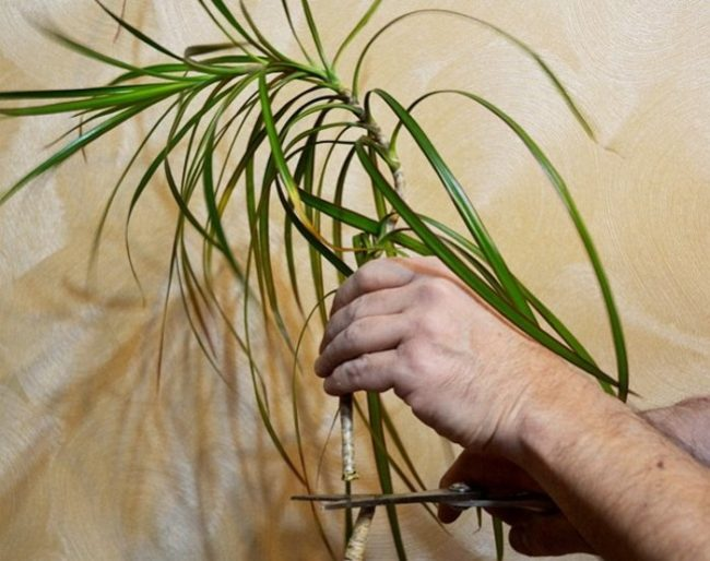 Обрезка верхушки драцены для размножения в домашних условиях