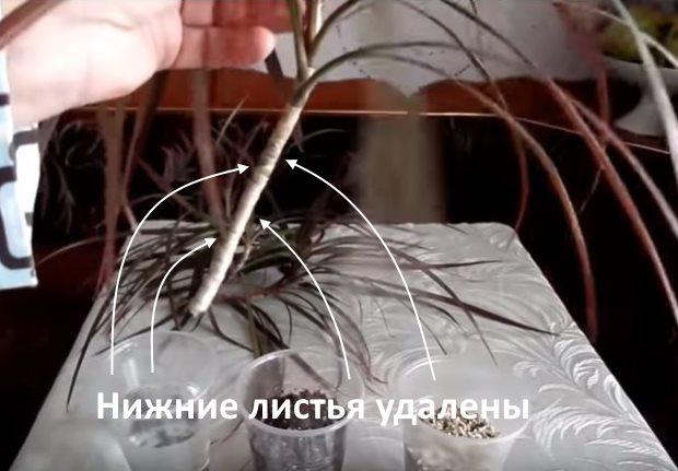 Верхушечный черенок комнатной драцены без нижних листьев