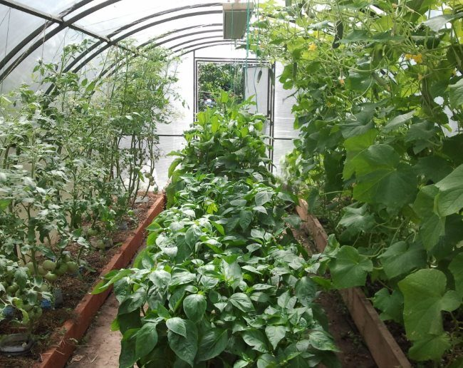 Совместные посадки огурцов, помидоры и перца в одной теплице