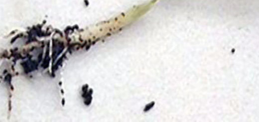 Поражённая болезнью чёрная ножка корневая система огурца