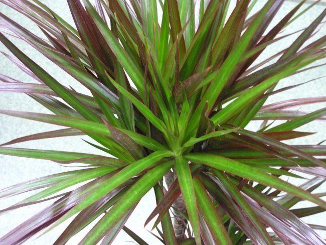 Типичная окраска длинных листьев драцены популярного сорта Маргината