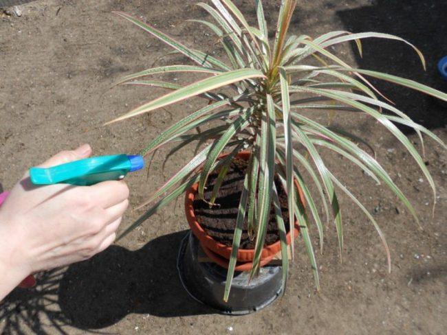 Орошение водой из ручного распылителя листьев домашней драцены