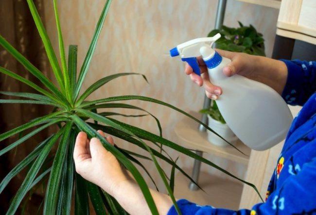 Опрыскивание листьев драцены кипяченной водой комнатной температуры