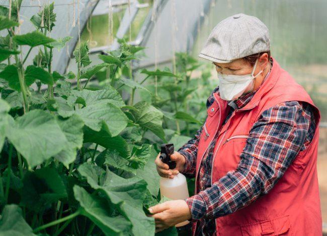 Опрыскивание листьев огурцов в теплице дачного хозяйства из ручного распылителя