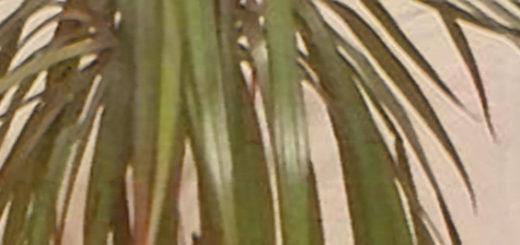 Пальма драцена начала опускать листья вниз не все
