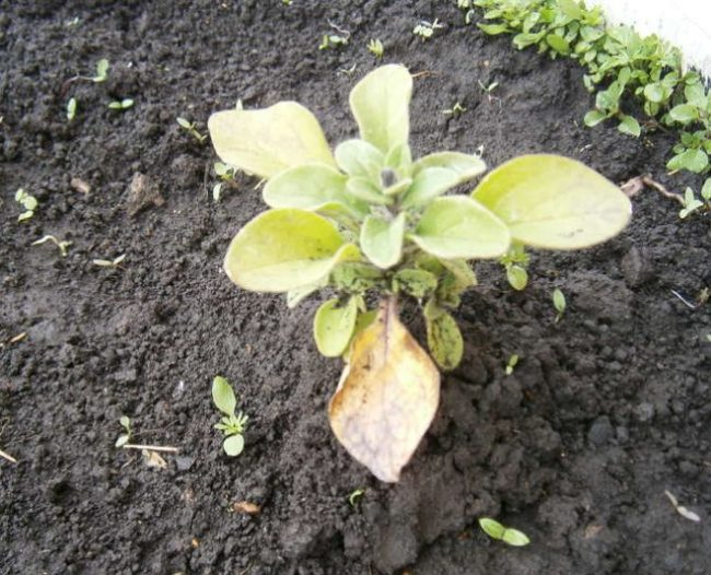 Мокрая поверхность земли вокруг кустика петунии с желтеющими листьями