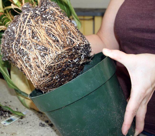 Переросшие корни драцены при извлечении растения из старого контейнера