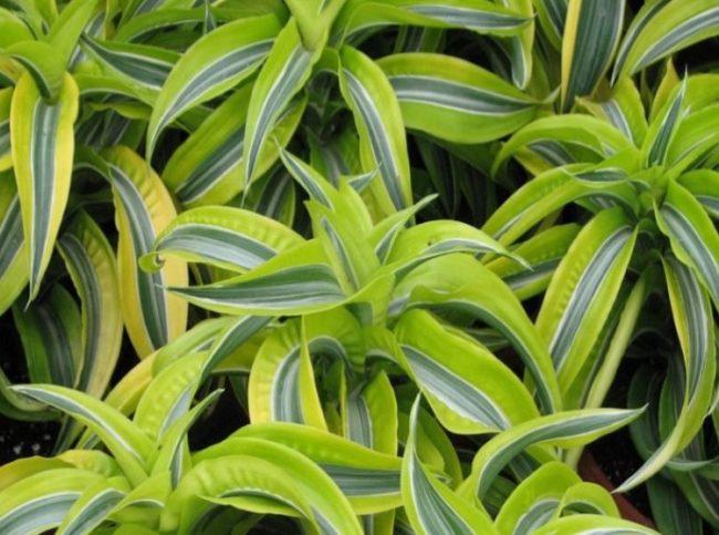 Полосатые листья драцены сорта лемон лайм при выращивании в домашних условиях