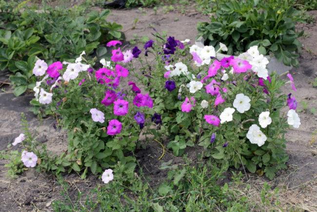 Кусты петунии без формирующей обрезки в огороде дачного участка