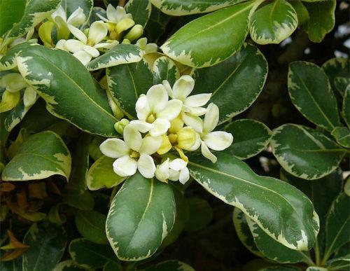 Цветение питтоспорум тобира в домашних условиях