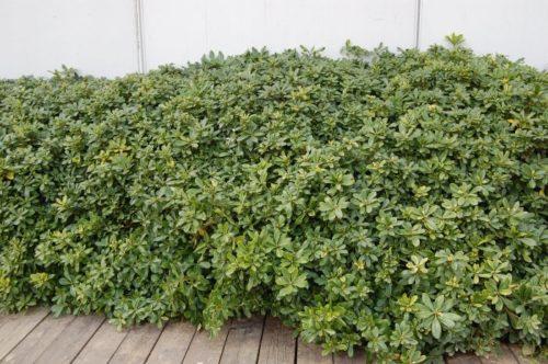 Выращивание питтоспорума Тобира в качестве живой изгороди в теплом климате