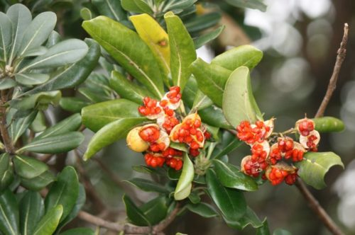 Красные плоды комнатного цветка питтоспорум тобира