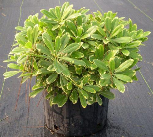 Взрослый куст питтоспорум тобира со светлой окантовкой на зеленых листьях