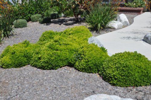 Использование австралийского растения Питтоспорума Тобира в ландшафтном дизайне