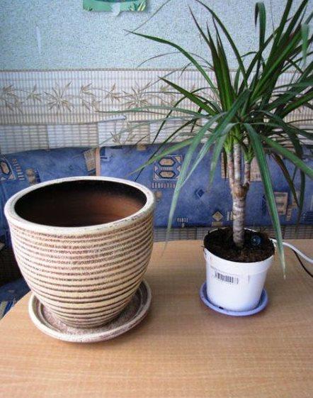 Подбор нового горшка для пересадки драцены в домашних условиях