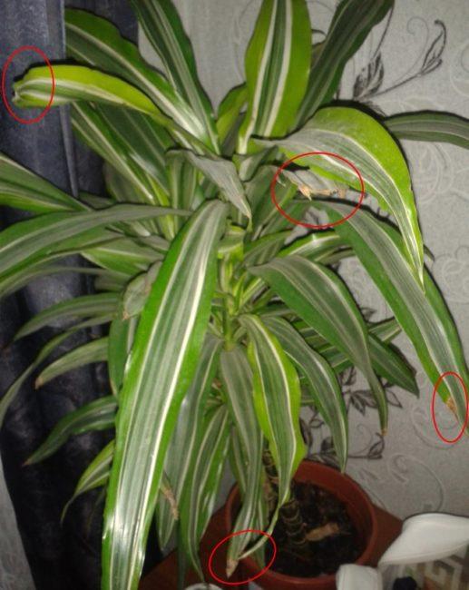 Подсыхание листьев и изменение окраски на драцене лемон лайм при выращивании в тени