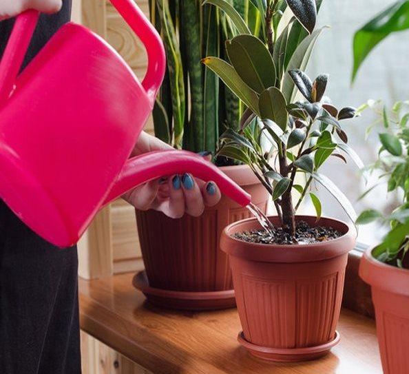 Правильный полив замиокулькаса из розовой лейки дождевой водой