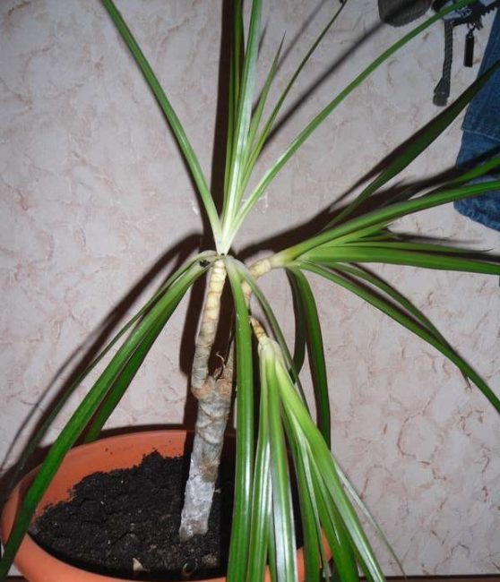 Поникшие розетки листьев драцены при переливе растения