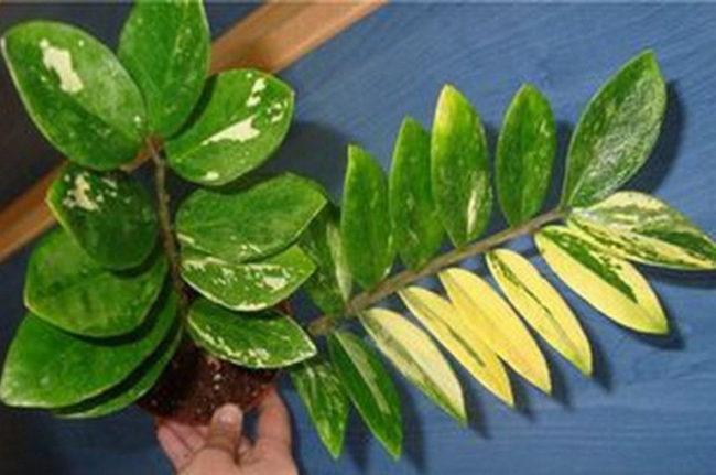 Пожелтение листьев на ветке замиокулькаса при загнивании корней